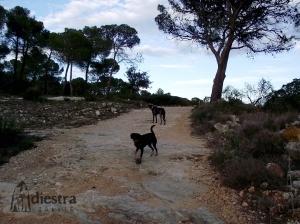 Las piñas en el campo son pelotas improvisadas estupendas... ¡pero cuidado con las obsesiones!  Hay perros, como Hugh, que se obsesionan fácilmente con el juego de cobro (perseguir y traer) y dejan de disfrutar del resto de estímulos.