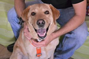Iana Labrador DoggyPoppins AdiestrAlicante Adiestramiento a domicilio y modificación de conducta