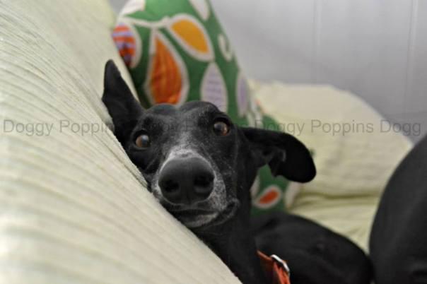 Milo Galgo DoggyPoppins AdiestrAlicante Adiestramiento a domicilio y modificación de conducta