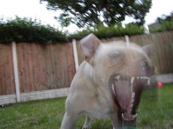 Un perro agresivo muchas veces es un perro incomprendido, tratado de forma incorrecta y que no encaja con el modo de vida actual de su familia. Muchas veces nos encontramos que sus propietarios no pueden cubrir sus necesidades etológicas y muy a su pesar, se ven obligados a separarse de su perro. Esta terrible situación podría haberse evitado antes de introducir al animal en casa y no causar una separación traumática.